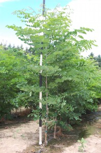 Gymnocladus Kentucky Coffeetree 1yr.