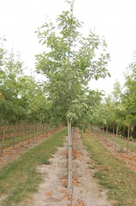 Quercus Northern Red
