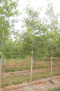 Quercus 'Scarlet Oak'