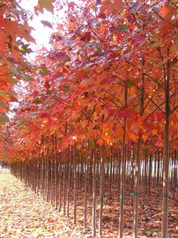 Maple Trees