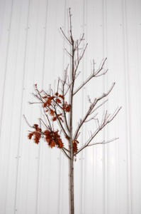 """The 1 ½"""" branched Northern Red Oak planted in May of 2008.  Was 1 ¾""""+ on November 18, 2008."""