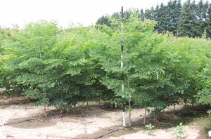 Gymnocladus Kentucky Coffeetree 1yr.