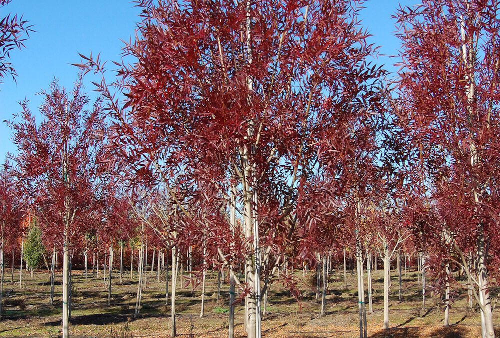 Fraxinus oxycarpa 'Raywood' Raywood Ash