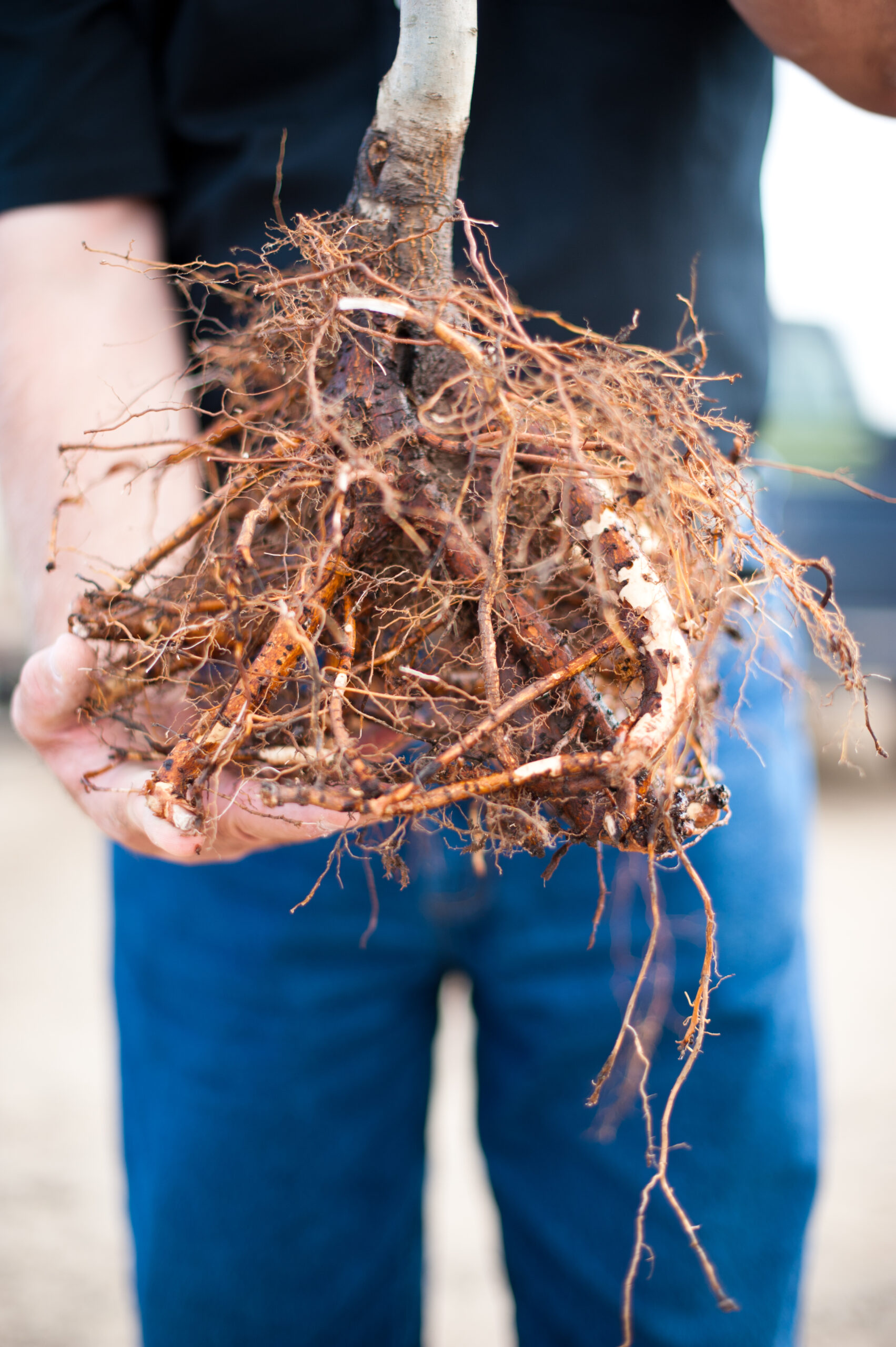 man holding a bare root tree while getting ready to buy trees